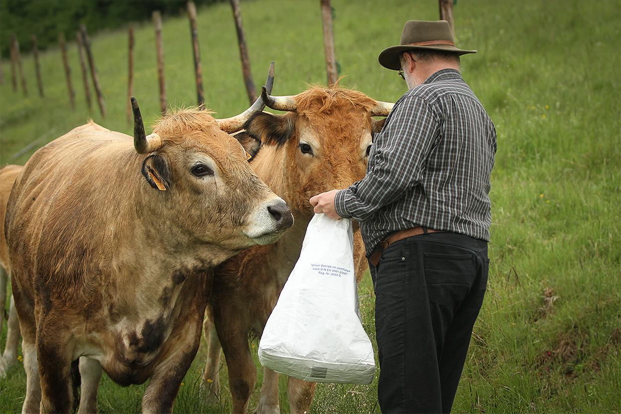 Aubrac Rinder