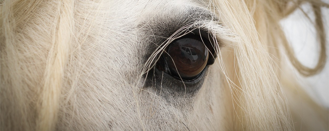 Tinker, Irish Cobs & Shire Horses